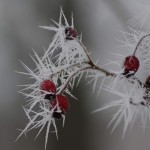 Frost Crystals on Hawthorn
