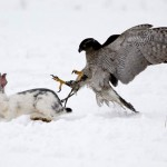 Hawk chases a rabbit
