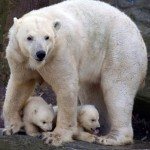 Two newborn polar bear cubs