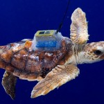 4,500-mile Atlantic Ocean journey of tiny turtles