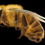 Electron micrograph of a honey bee