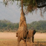 Elephant on hind legs to pluck a fruit