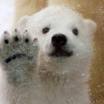 Snow walk- first time for polar bear cub