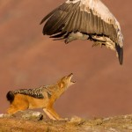 Giant vulture and a hungry jackal