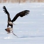 Huge Eagle swooped down