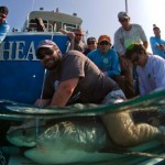 Kori the tiger shark with satellite tracking system