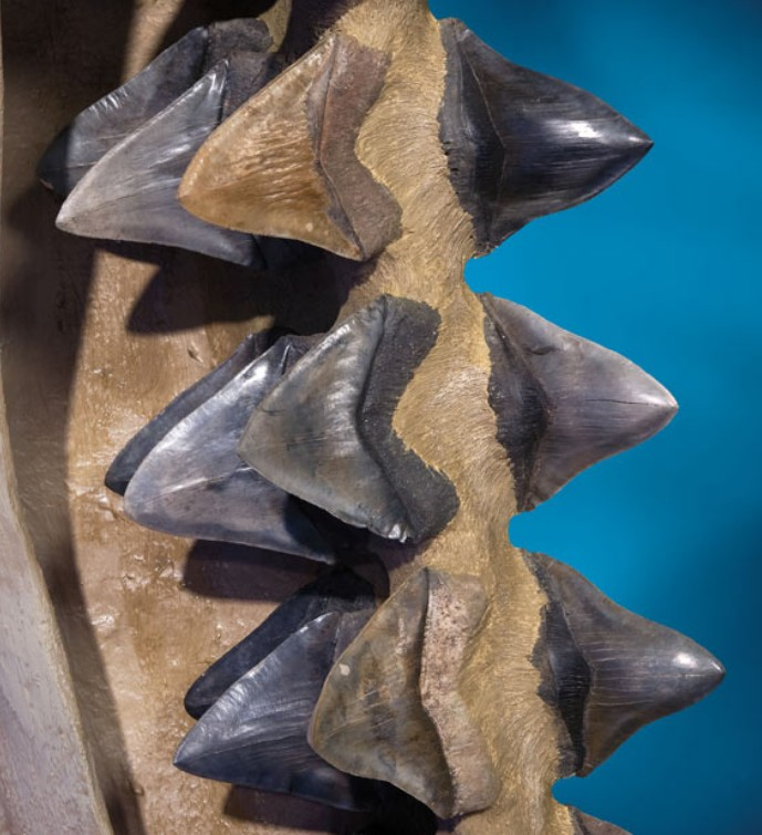 prehistoric shark jaws