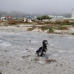 Pictures from Japan's disaster- seabirds victims of the...
