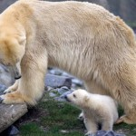 Sagittarius polar bear cub Vicks