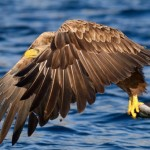 White-tailed eagle grabs a pollock