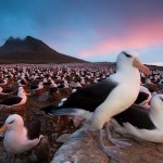 Albatrosses in Falkland islands