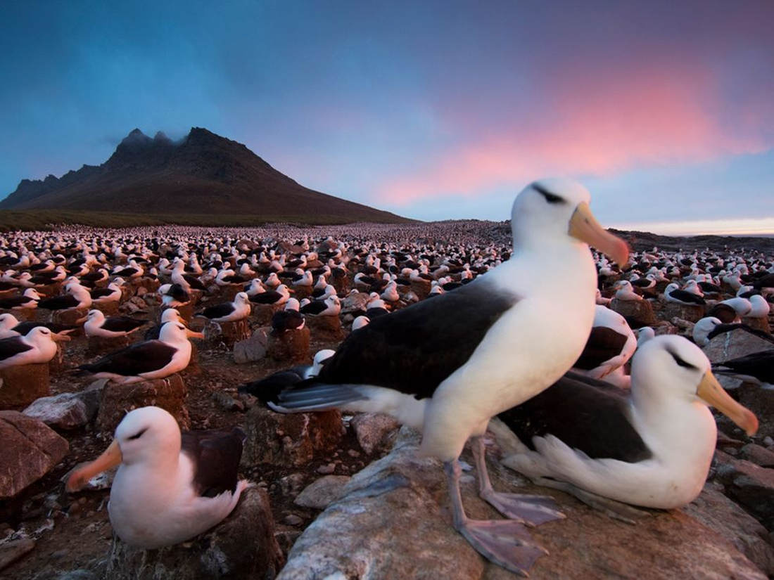 albatrosses-falkland-islands.jpg