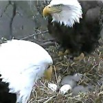 Nest of Bald eagles with spy cameras