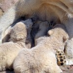 Polar bear twins Aleut and Gregor (video)