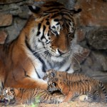 Three newly-born Siberian tigers