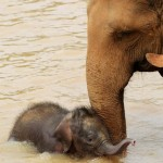 Baby elephant plays in the river