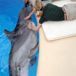 Ultrasound scan for pregnant Dolphin