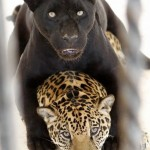 Black and spotted Jaguars