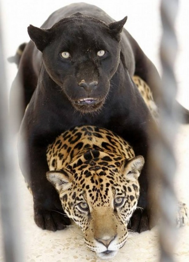 wordlessTech | Black and spotted Jaguars - photo#24