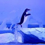 Gentoo penguin exits the water