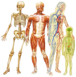 wordlesstech | 50 incredibly weird facts about the human body, Muscles