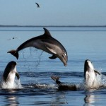 New species of dolphins found off Australia