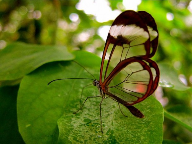 transparent-butterfly
