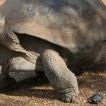 Endangered tortoise becomes mum at age 90