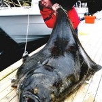 Gigantic Atlantic halibut