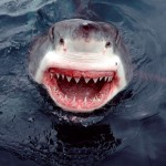 A great smile from a greate White Shark