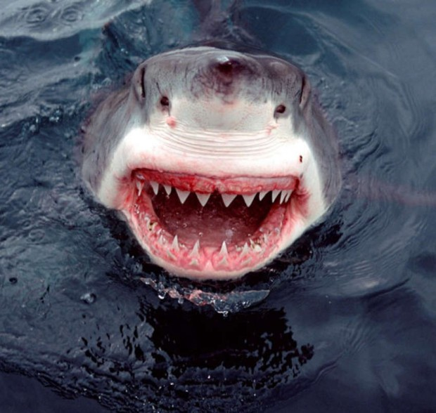 White Shark smiles