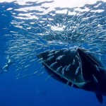 Hungry Bryde's whale