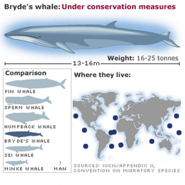 Bryde's whale on Earth