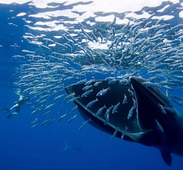 Bryde's whale with a diver