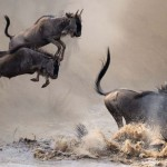 Power and majesty of wildebeest migration