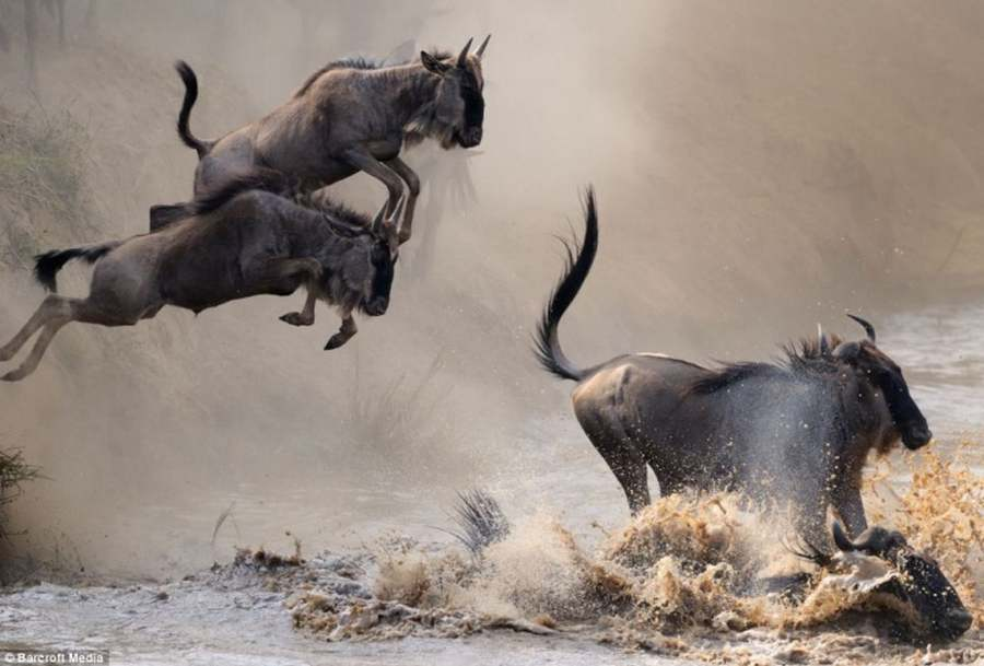 Power And Majesty Of Wildebeest Migration Wordlesstech