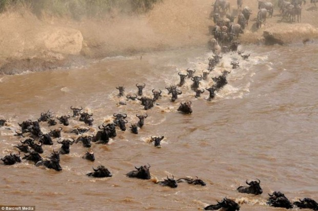 wildebeest migration crossing Mara River