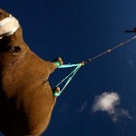 Rhino flying to a new home (video)