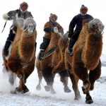 Camel race in Hulun Buir