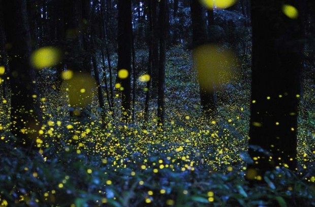 Fireflies in Japan