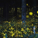 Wonderful Sea of Fireflies