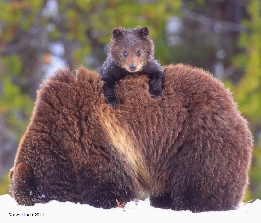 A young bear feels cold in Yellowstone National Park