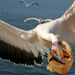 Pelican's free lunch