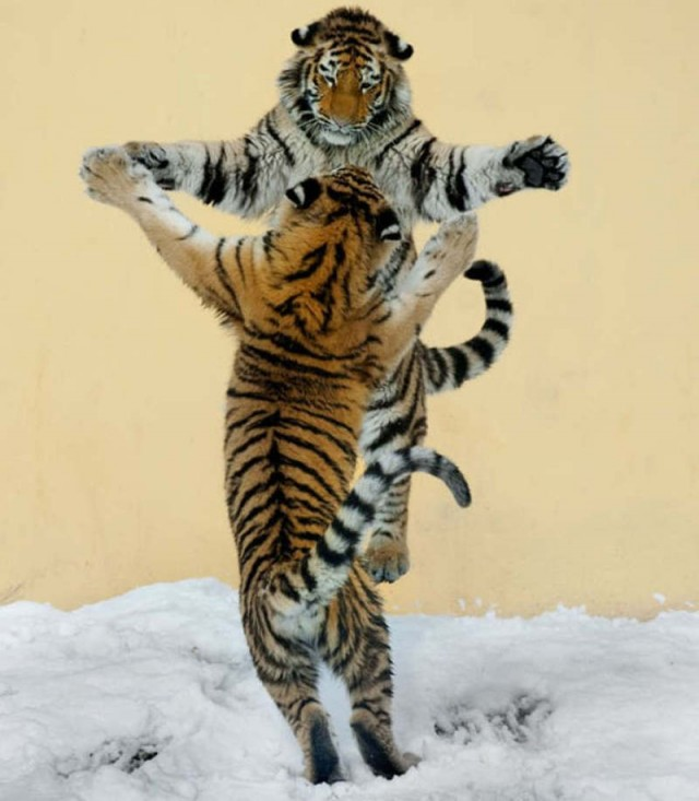 two Siberian tigers are dancing in the snow at Vienna's Tiergarten Schoenbrunn zoo