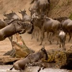 Wildebeest escapes from the mouth of huge crocodile