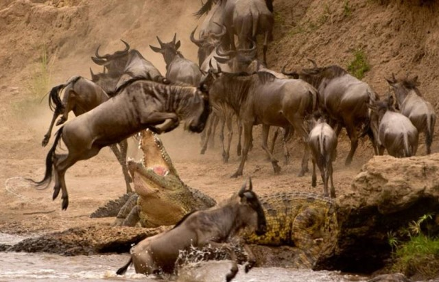wildebeest crossing the Mara River in the Maasai Mara Game Reserve