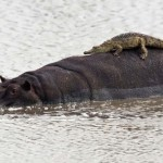Crocodile have mistaken the hippo for a rock