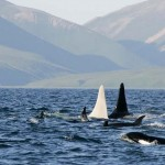 Extremely rare white killer whale (video)