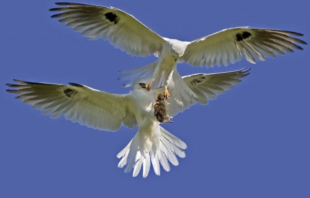 Fast food handovers by two white-tailed kites