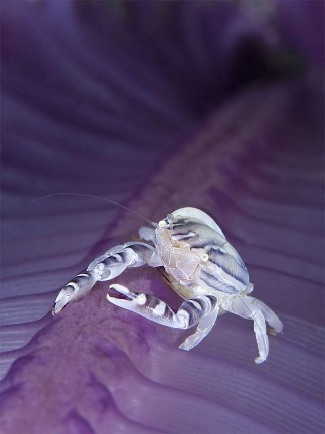 2nd Place Macro: Davide Lopresti Porcelain crab, Porcellanella sp. on feathery sea pen – Komodo National Park, Indonesia